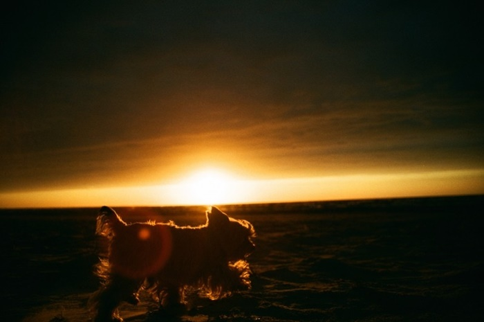 yorkshire-terrier-and-the-sunset